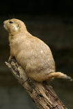 Crabot de prairie à queue noire photographie stock libre de droits