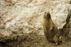 Crabot de prairie à queue noire debout Photos libres de droits