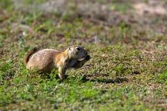 Crabot de prairie à queue noire, ludovicianus de Cynomys image libre de droits