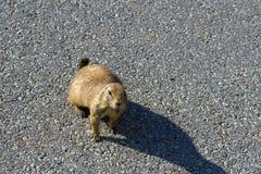 Crabot de prairie à queue noire, ludovicianus de Cynomys photo stock