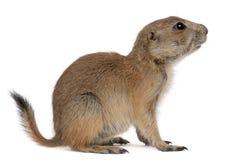 Crabot de prairie à queue noire, ludovicianus de Cynomys Photographie stock libre de droits