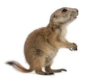 Crabot de prairie à queue noire, ludovicianus de Cynomys Photos libres de droits