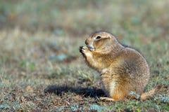 Crabot de prairie à queue noire, ludovicianus de Cynomys Images libres de droits