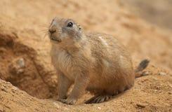 Crabot de prairie à queue noire se reposant Images libres de droits