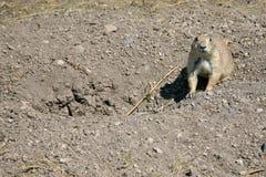 Crabot de prairie Photos libres de droits