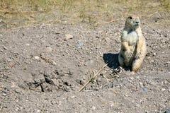Crabot de prairie Image stock