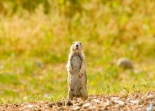 Crabot de prairie Photographie stock