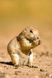 Crabot de prairie Image libre de droits
