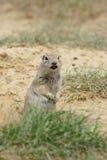 Crabot de prairie Images libres de droits