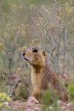 Crabot de prairie de Gunnison, gunnisoni de Cynomys Photo libre de droits