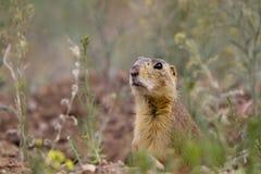 Crabot de prairie de Gunnison, gunnisoni de Cynomys Images libres de droits