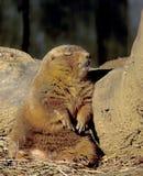 Crabot de prairie de sommeil Photo stock