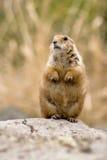 Crabot de prairie debout Photographie stock libre de droits