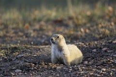 Crabot de prairie le matin Sun images stock