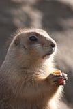 Crabot de prairie mangeant un raccord en caoutchouc Photo stock