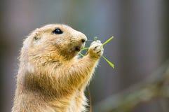 Crabot de prairie mignon Photo libre de droits