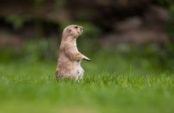 Crabot de prairie suivi noir très mignon Photographie stock libre de droits