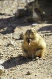 Crabot de prairie suivi par noir Photographie stock libre de droits