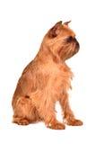 Crabot de race bruxelloise de Griffon Images stock