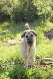Crabot de race le mastiff espagnol sur un pré Image libre de droits