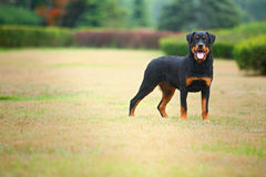 Crabot de Rottweiler Image libre de droits