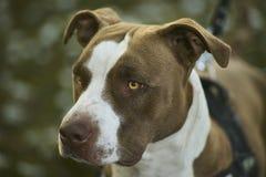 Crabot de Rottweiler Images libres de droits