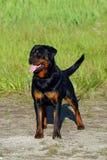 Crabot de Rottweiler sur l'herbe Photographie stock