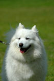 Crabot de Samoyed Photo stock