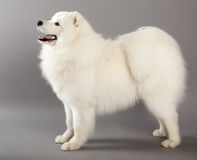 Crabot de Samoyed Photos stock