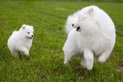 Crabot de Samoyed Photographie stock libre de droits