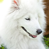 Crabot de Samoyed Photographie stock