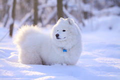 Crabot de Samoyed dans la neige Photo stock