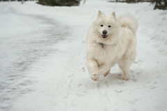 Crabot de Samoyed sur la neige. Photo libre de droits
