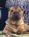 Crabot de Sharpei Photo libre de droits