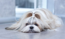 Crabot de Shih Tzu photo stock
