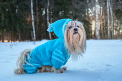 Crabot de Shih Tzu Photos stock