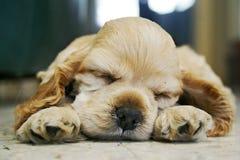 Crabot de sommeil Photo stock