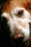 Crabot de sourire, chien d'arrêt d'or photographie stock libre de droits