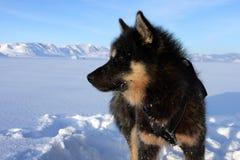 Crabot de traîneau sur la banquise du Groenland est Photographie stock libre de droits