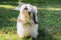Crabot de tzu de Shih sur l'herbe Photo stock