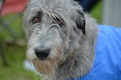 Crabot de Wolfhound irlandais Images libres de droits