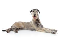 Crabot de Wolfhound irlandais Image stock