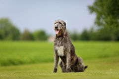 Crabot de Wolfhound irlandais Photo stock