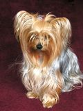 Crabot de Yorkie Photos stock
