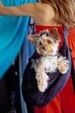 Crabot de Yorkshire Terrier faisant des emplettes à l'extérieur images stock