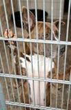 Crabot derrière des bars Photos stock