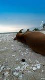 Crabot dormant sur la plage Photos libres de droits