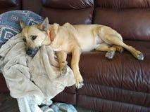 Crabot dormant sur le divan Images stock