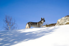 Crabot en forêt de l'hiver Photos stock