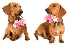 crabot et fleurs de dachshund Images libres de droits